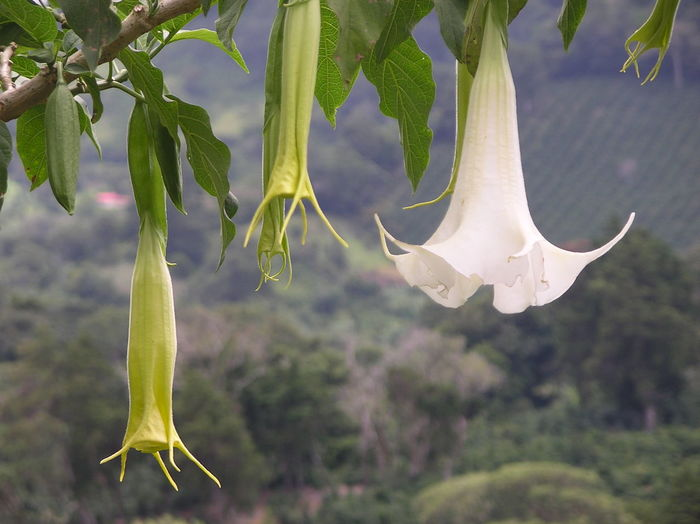 Beautiful flowers over Panama's coffee country Beauty In Nature Boquete Close-up Flower Fragility Freshness Growth Hanging Landscape Nature No People Outdoors Panamá Plant Fresh On Eyeem