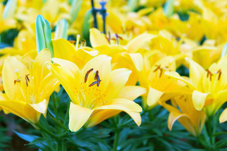 Yellow lillyes on garden bed. selective focus on flower pollen. Beautiful Green Lilly Lily Beauty In Nature Blooming Flower Bouquet Floral Flowering Plant Flowers Focus On Foreground Fragility Freshness Garden Growth Inflorescence Lilies Lillies Nature Petal Plant Pollen Pollination Vulnerability  Yellow