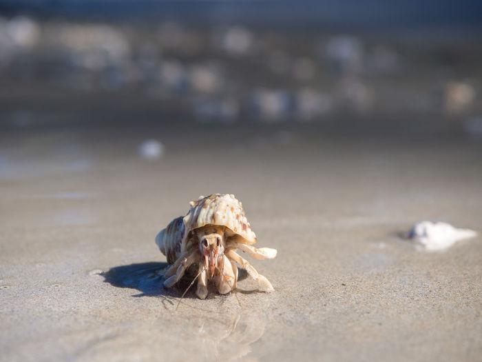 Hermit crab Animal Beach Crab Hermit Hermit Crab National Park Nature Outdoors Phuket Sand Sea Sea Life Seashell Sirinat Thailand Wildlife