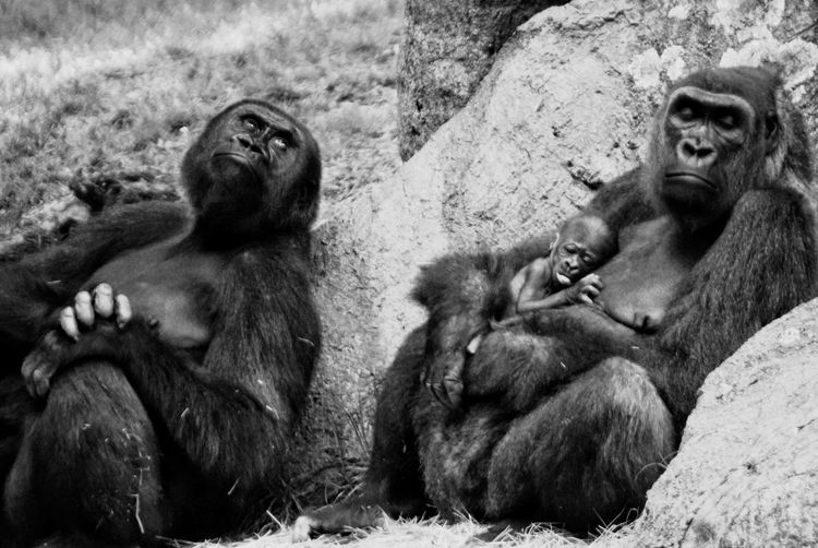 Close up of gorillas