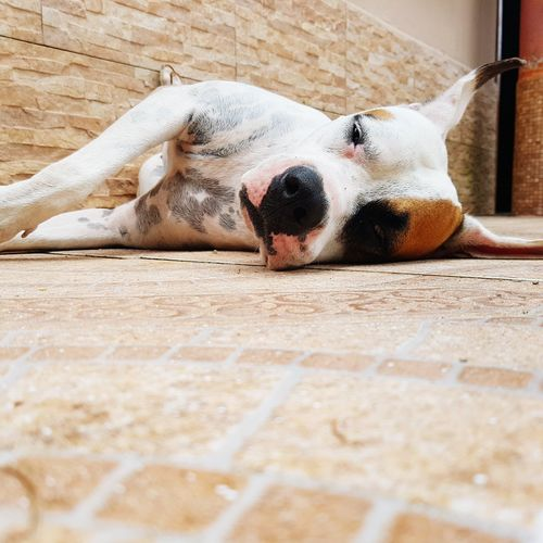 One Animal Dog Animal Themes Pets Domestic Animals Relaxation Wooden Flooring Front View Canine Mammal Animal Head  Day Resting Lying Down No People Zoology Loyalty Portrait Curiosity Plant Innocence Animal Togetherness Looking At Camera