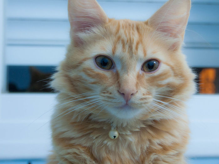 Animal Themes Cat Close-up Day Domestic Animals Domestic Cat Eyes Feline Felino Gato Indoors  Looking At Camera Mammal No People One Animal Pets Portrait Whisker