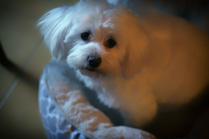 Animal Themes Bichon Cute Dog  Cute Doggy Dog Domestic Animals Looking At Camera Mammal No People One Animal Pets Portrait White White Dog