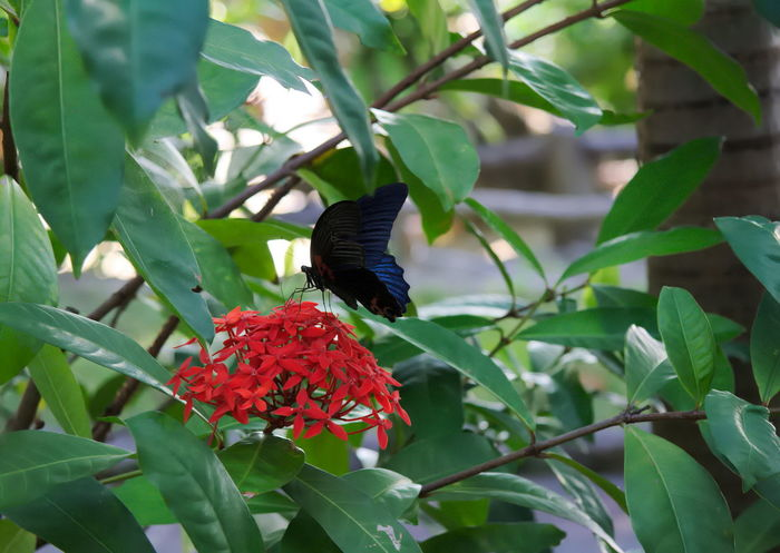 Beautiful Green Nature Black Butterfly Butterfly Closeup Colorful Fauna Flower Garden Insect Pollen Red Flower Tropical
