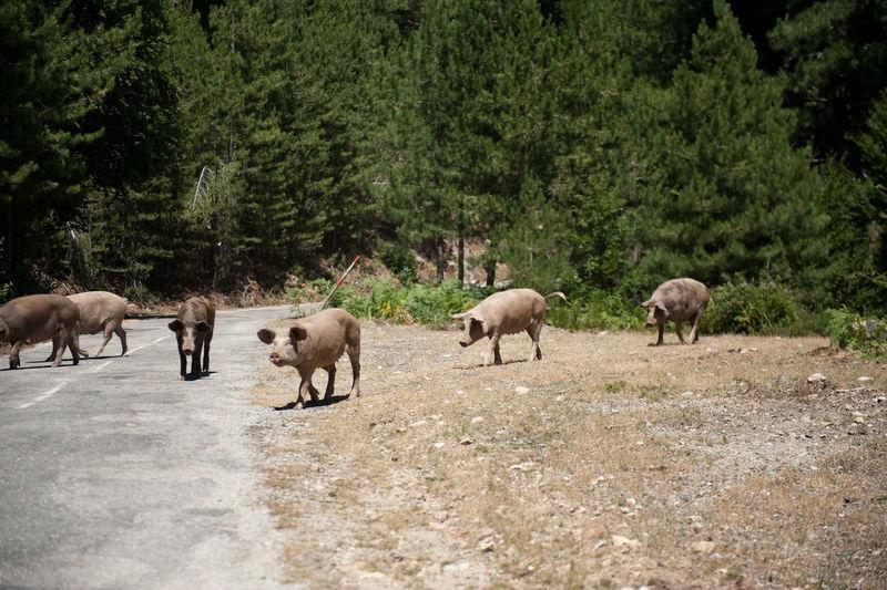 Herd of pigs crossing road
