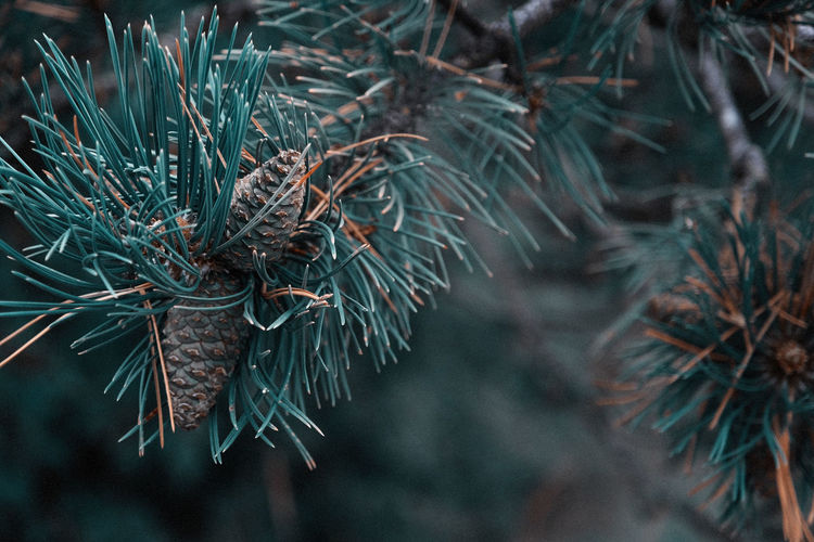 Small pine cones clustered on some pine tree branches with sunbeams