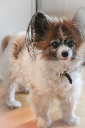 Dogs Dogs Of EyeEm Animal Animal Themes Canine Cute Dog Domestic Domestic Animals Focus On Foreground Hair Hairy  Indoors  Lap Dog Looking At Camera Mammal No People Nose One Animal Papillon Papillon Dog Pets Portrait Small Vertebrate