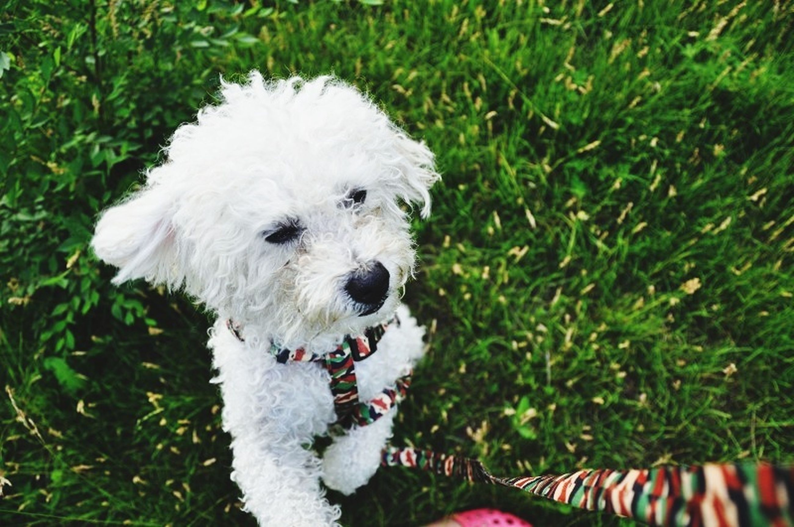 dog, domestic animals, pets, animal themes, one animal, grass, high angle view, mammal, white color, field, grassy, green color, outdoors, day, no people, looking at camera, nature, cute, portrait, close-up