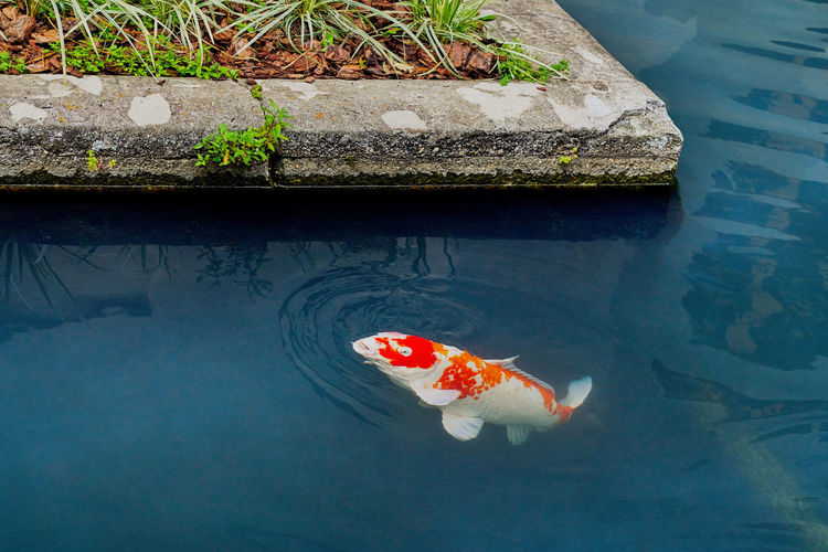 High angle view of koi carps swimming in pond