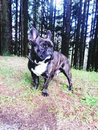 Frenchbulldog Dogs Bulldog