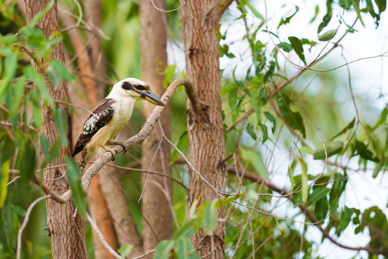 Portrait of kookaburra, Australian native bird. Australian Kookaburra Kookaburra Kingfisher Native Bird Of Australia Animal Wildlife Bird Branch Kookaburra In A Tree Kookaburra Portrait Nature No People Outdoors Tree Tree Trunk Wildlife