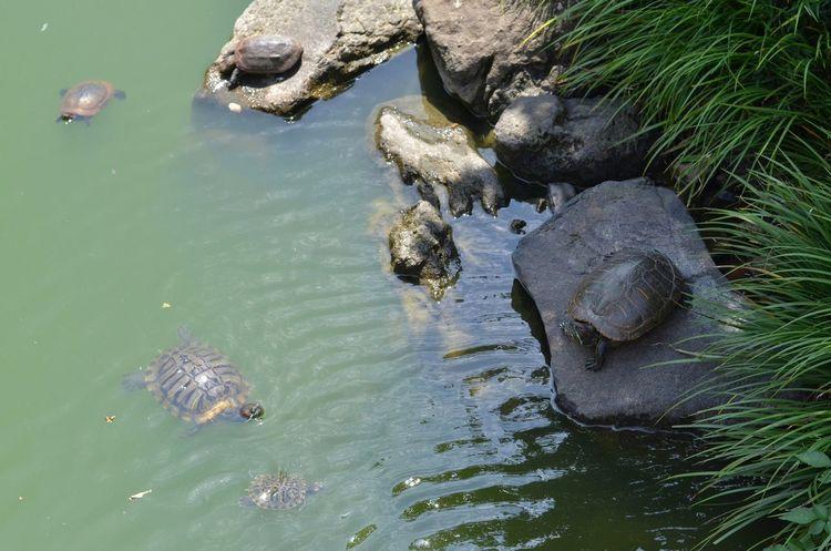 亀戸天神の亀さん Turtles Turtle 🐢 Animal Themes Capture The Moment Relaxing Moments Waterside Pond Animal World Light And Shadow EyeEm Nature Lover Eyem Best Shots Eyeem Best Shots - Animals