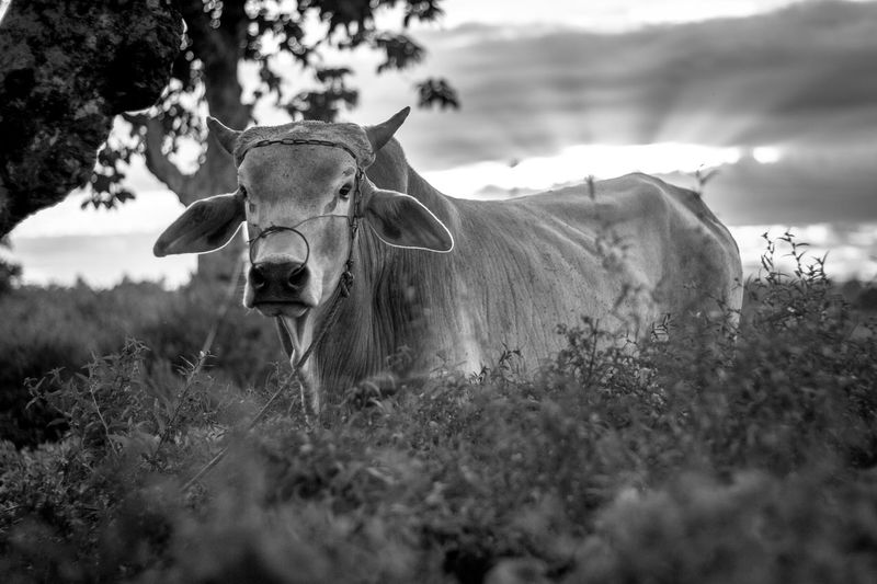 Portrait of cow standing amidst plants on field