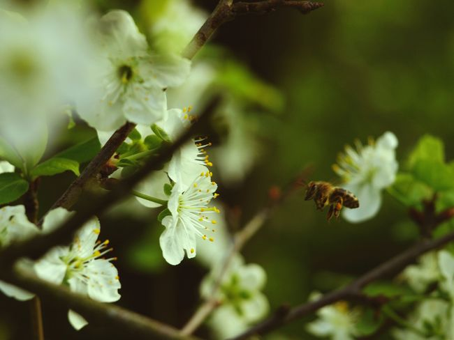 Insect Animal Wildlife Nature Animals In The Wild No People One Animal Plant Outdoors Animal Themes Day Bee Tree Flower Close-up Beauty In Nature Branch Kirschbaumblüten Plant Cherry Tree Tropical Freshness Beauty In Nature Botany Kirschbaum White Color