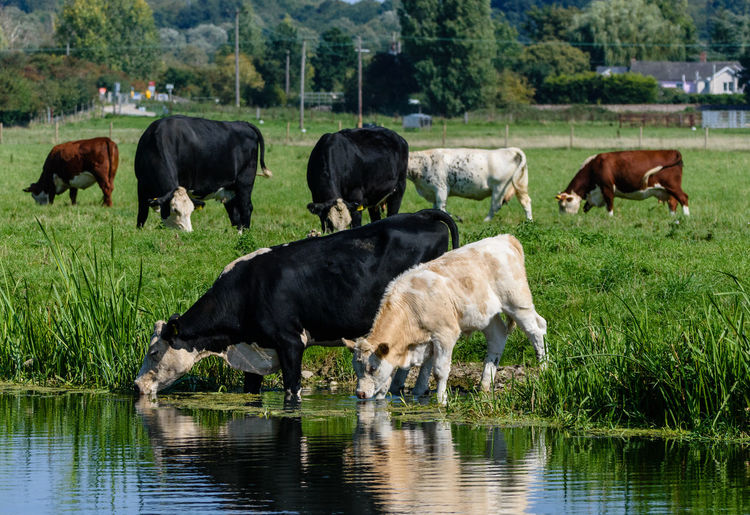 Cows drinking from the river in the summertime. River Collection River View Riverside Summertime Animal Cattle Cow Cows Cows By The River Cows Drinking Cows In A Field Domestic Animals Drinking Grass Grazing Group Of Animals Herbivorous Livestock Rippled River Riverscape Riverside Photography Summer Water