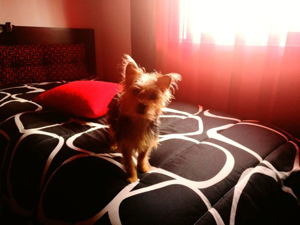 My little sweet Pipoca (Popcorn) Pets Domestic Animals No People Yorkshire EyeEmNewHere