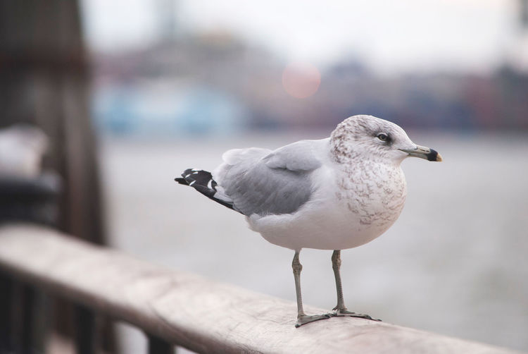 Close-up of seagull perching on railing against wall
