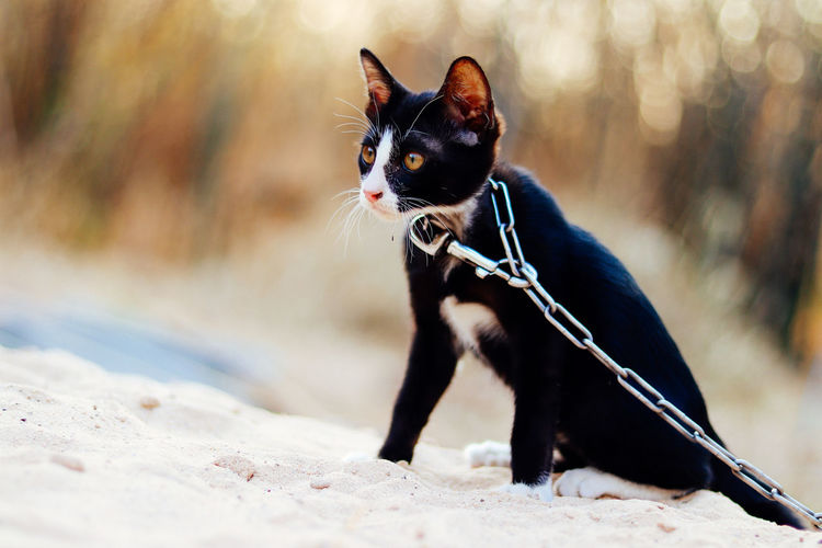 One Animal Animal Themes Pets Animal Domestic Domestic Animals Mammal Dog Canine Vertebrate Collar Pet Collar Black Color Day Looking Away Leash Nature Looking Pet Leash No People Small Chihuahua - Dog