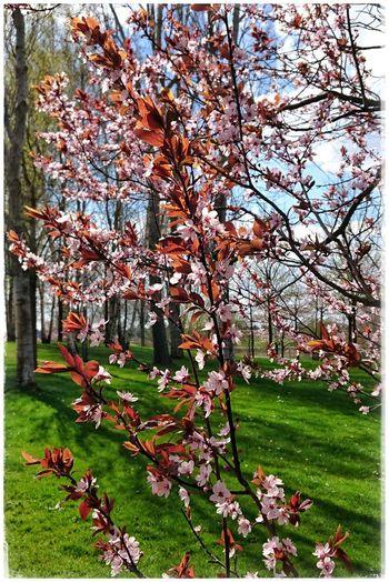 Frühlingserwachen in den Gärten Der Welt Springtime Kirschblüten  Cherryblossom PrettyInPink