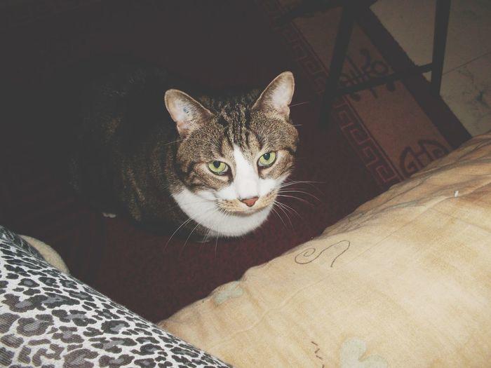 Chat Pets Cat Minou Mon Chat  Tim ❤️ 😚