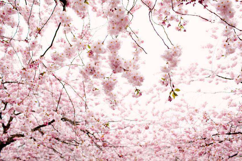 Flower Springtime Spring Summer Summertime Pink Color Flower Backgrounds Flowering Plant Blossom Plant Tree No People Beauty In Nature Freshness Full Frame Fragility Growth Nature Cherry Blossom Low Angle View Springtime Branch Day Outdoors