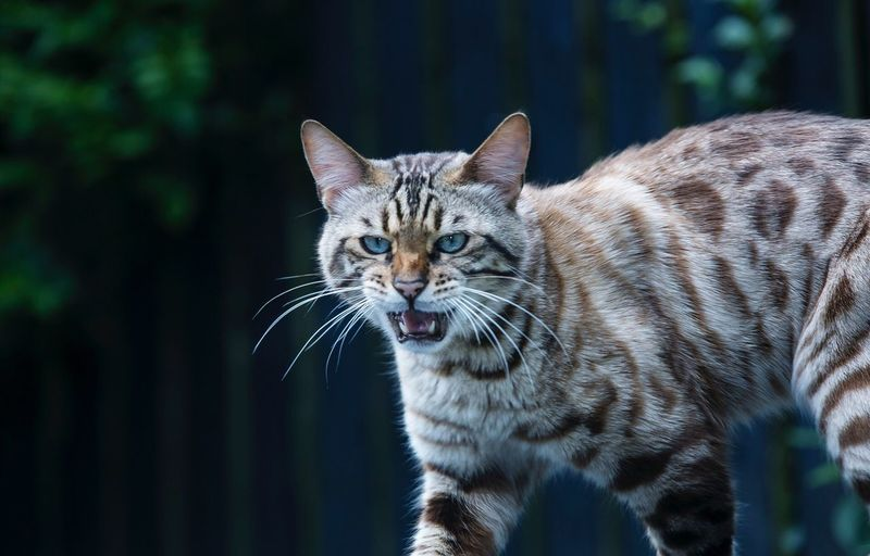 EyeEm Selects Domestic Cat Animal Themes One Animal Focus On Foreground Whisker Looking At Camera Bengal Cat Mammal Feline Domestic Animals No People Outdoors Fur Portrait Close-up Nature Pets Day Bengal