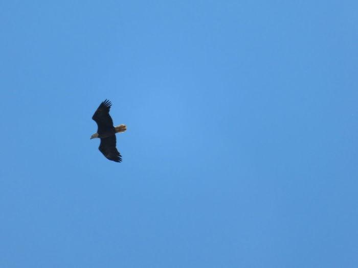 Bald Eagle (Florida) Bird Of Prey Bird Flying Spread Wings Clear Sky Blue Mid-air Sky Bald Eagle Eagle - Bird Eagle Fly