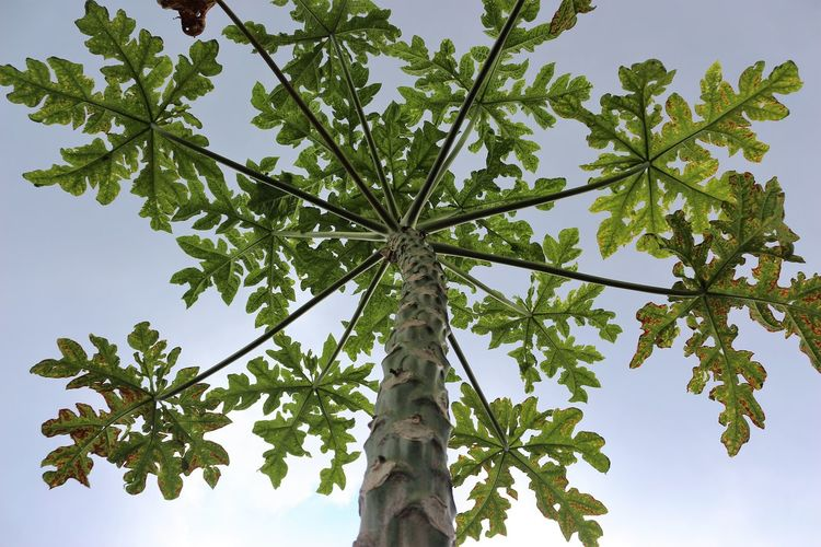 Papaya tree Beauty In Nature Day Freshness Green Color Growth Leaf Low Angle View Nature No People Outdoors Sky Tree