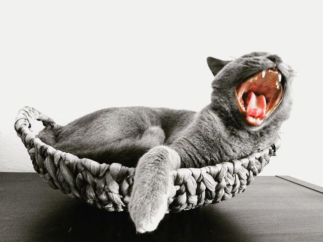 Cat Cats Animal Animals Sbadiglio Relaxing Yawn Grey Pink Grigio Pink Color