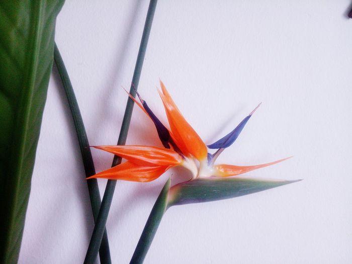 Close-up of bird of paradise against white background