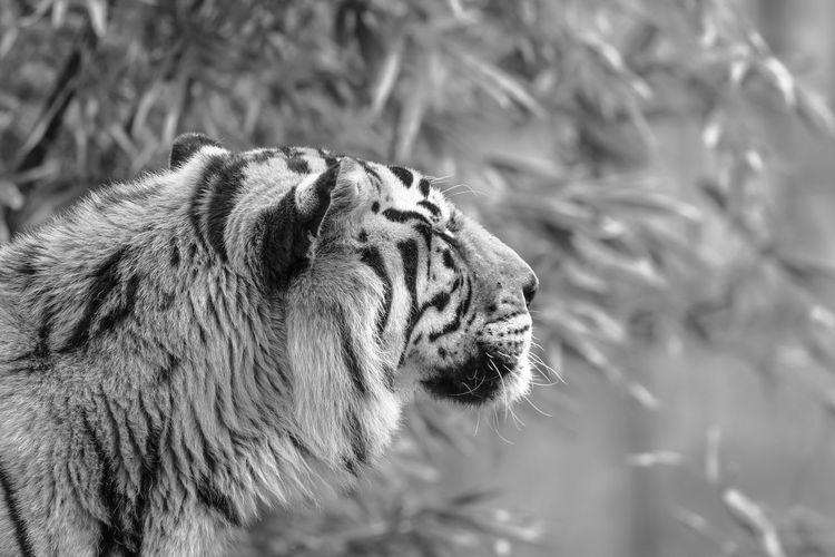 Animal Big Cat