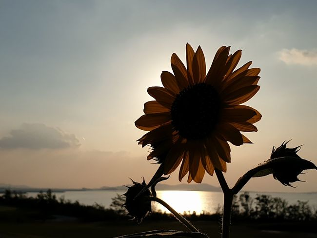 sunflower China Photos Flowerpark Nature Sunflower Sunlight Dalian Reflection Sky Landscape Light And Shadow Light In The Darkness Sunset And Clouds  Flower Flower Photography Flower Head Flower Beauty Sunset Silhouette Petal Rural Scene Uncultivated Blossom Blue Calm Plant Life Sunflower Focus