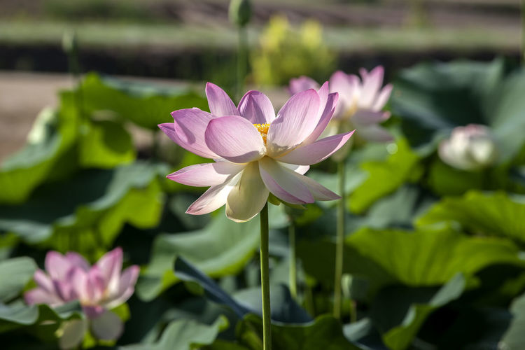 Close-up of pink lotus flowers blooming outdoors