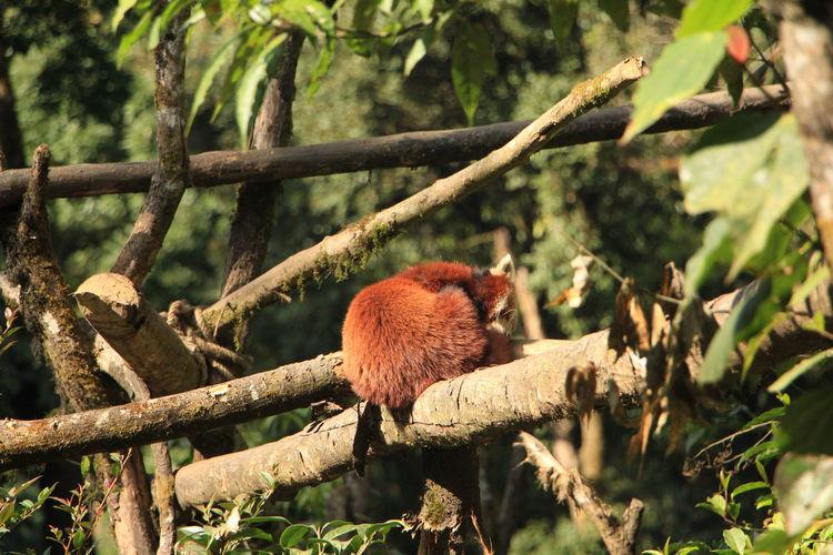 Red panda in red panda