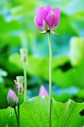 Plant Flowering Plant Freshness Beauty In Nature Flower Vulnerability  Fragility Growth Close-up Focus On Foreground Petal Nature Flower Head Pink Color Plant Part Plant Stem Leaf Inflorescence Green Color Day