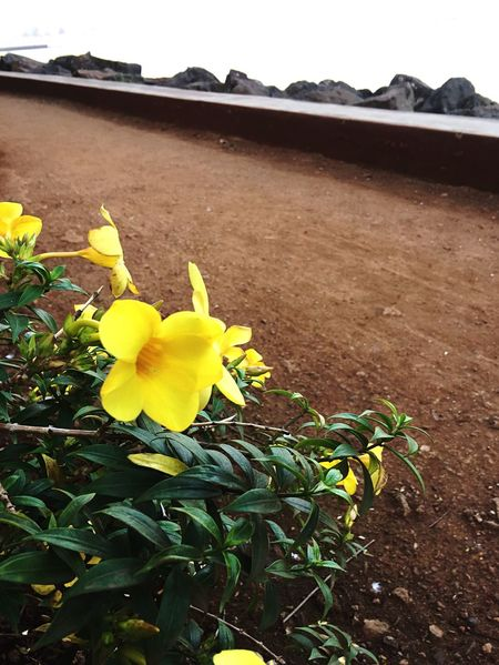 Growth Flower Yellow Nature Fragility Beauty In Nature Plant Freshness Petal Close-up Outdoors No People Flower Head Day