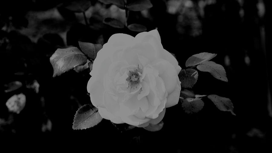 Blackandwhite EyeEm Best Shots - Black + White Blackandwhite Photography Black & White Sony Moment Of Silence Moments EyeEm Best Shots EyeEmNewHere EyeEm Gallery EyeEm Selects EyeEm Close-up Nature Flower No People Plant Beauty In Nature Outdoors Flower Head