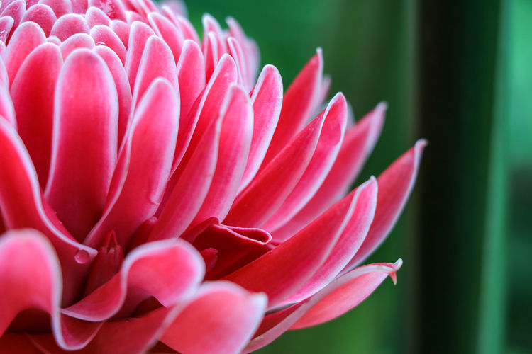 "Thai is called ""Dalea"" Thai Is Called Dalea Flower Head Flower Petal Pink Color Close-up Plant Blooming Peony  Hibiscus Osteospermum Zinnia  Dahlia Stamen In Bloom Single Flower Cosmos Flower Gazania Pistil Passion Flower Daisy Plant Life Blossom Pollen Crocus Day Lily"