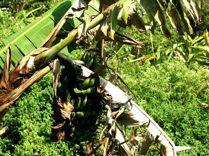 Banana Plants Banana Tree Bestoftheday INDONESIA Gombong Culture And Tradition Agrarculture No People Green Color Grass Day Leaf Outdoors Growth Nature Plant Tree Sunlight Beauty In Nature