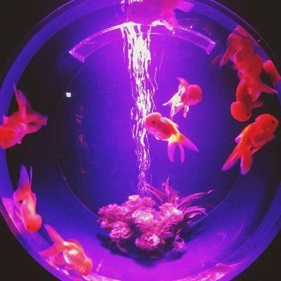アートアクアリウム2014 金魚鑑賞で涼を取る♪ 写真はオランダシシガシラ アートアクアリウム 金魚 夏 涼を取る 涼 江戸 コレド室町 artaquarium goldfish summer edo coredomuromachi