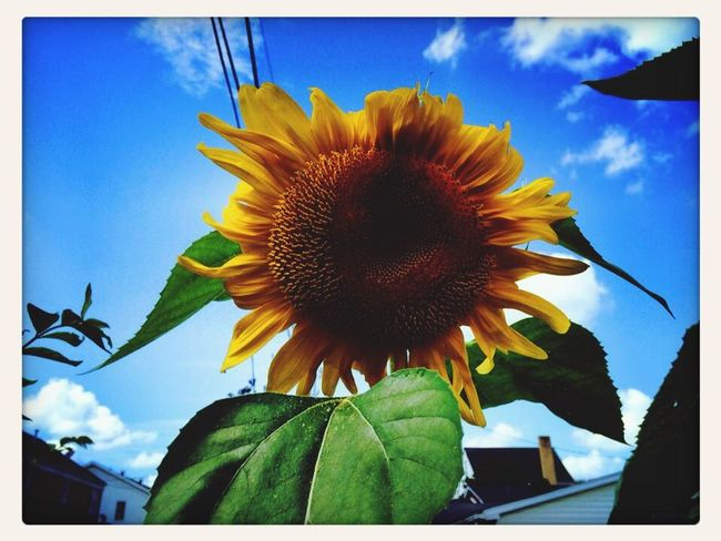 Sunflower ?