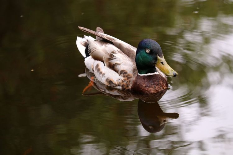 Mallard duck swimming in pond