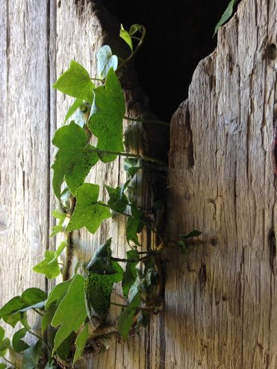 Close-up of ivy growing on wall