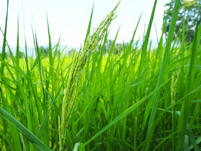 Close up of young rice paddy Green Fresh Cereal Plant Rural Scene Agriculture Clear Sky Ear Of Wheat Rice Paddy Wheat Field Crop  Close-up Farmland Farm Rice - Cereal Plant Plantation Growing