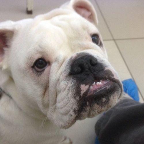 буля бульдог Buldog Dog ветклиника доктор рентгенанглийскийбульдог
