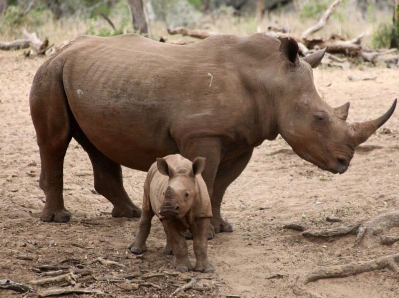 rhino calf and its mother Animal Themes Animals In The Wild Day Field Mammal Nature No People Outdoors Poaching Rhino Rhinos Standing Togetherness