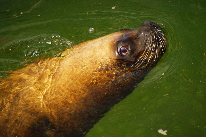 Lookin at you Mammal Animal Themes Animal Wildlife Aquatic Mammal Sea Lion Animals In The Wild No People Close-up Water Green Color The Purist (no Edit, No Filter) Eye4photography  Sony A6000 Wet Outdoors Swimming Chile