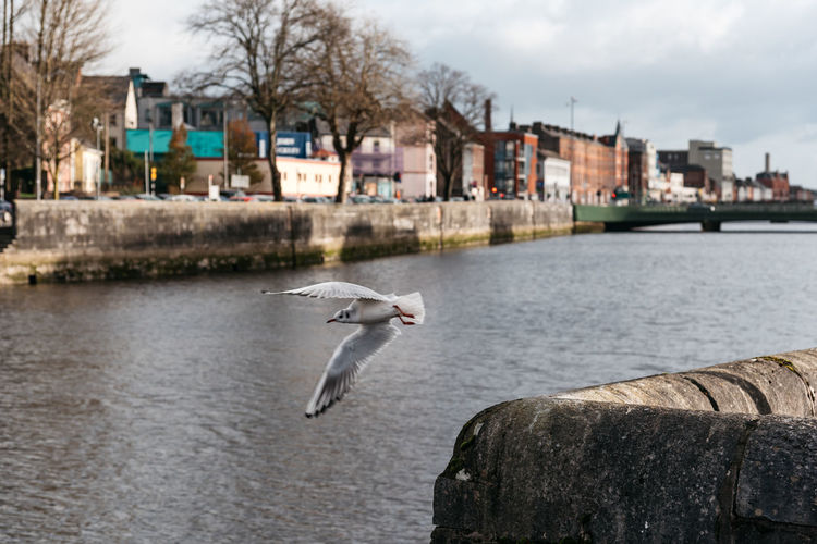 Seagull in canal in Cork Cork Nature Travel Wild Atlantic Way Animal Animal Themes Animal Wildlife Animals In The Wild Architecture Bird Building Exterior Built Structure Canal City Day Flying Focus On Foreground Irish Kerry Landscape Nature No People One Animal Outdoors River Scenics Seagull Spread Wings Tourism Vertebrate Water