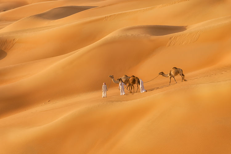 Men with camels walking on sand dune at desert