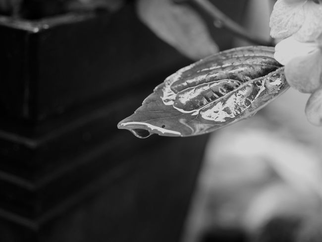drop on a leaf Black & White Drop On The Leaf EyeEm Nature Lover EyeEm Selects Nature Photography Rain Raindrops After Rain Blackandwhite Blackandwhite Photography Close-up Day Drop Drops Of Water Eye4photography  Focus On Foreground Leaf Nature Nature_perfection Naturelovers No People Outdoors Water Wet Day Wet Leaf